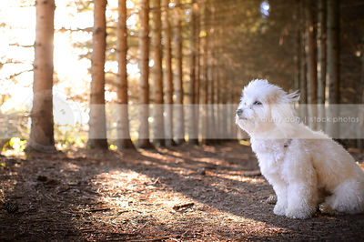 small white windblown havanese dog sitting in a pine forest