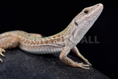 Italian wall lizard (Podarcis sicula campestris) photos