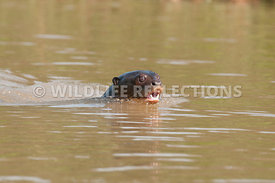 giant_otter_swimming_face-05
