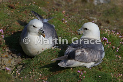 Pair of Northern Fulmars (Fulmarus glacialis) on cliff-top turf, Sumburgh Head, Mainland South, Shetland, Scotland