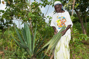 Kenyan lady picking leaves off a Sisal plant to make rope from in a traditional way. Kenya.