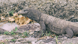 Monitor lizard in wild life