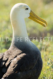 waved_albatross_espanola-47