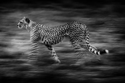 Cheetah running in the bush, Kenya 2006 © Laurent Baheux