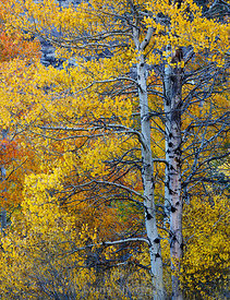 Two large old aspens