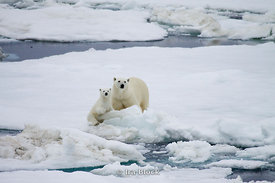 A female polar bear and her cub look out in curiosity over the ice floes in Svalbard, Norway.
