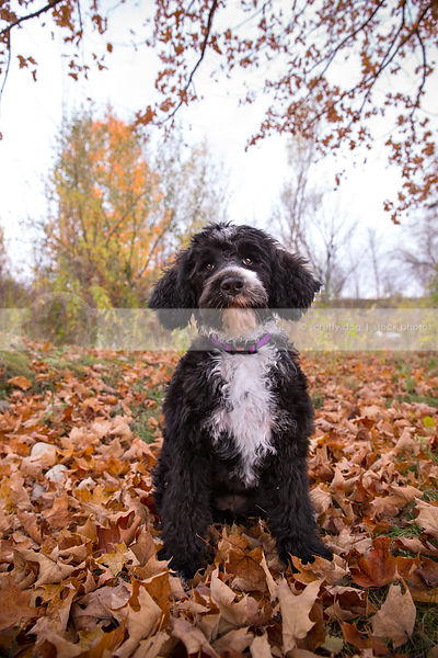 groomed black and white puppy posing in autumn leaves