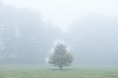 SOLITARY PINE TREE IN FOG