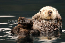 Sea Otter Relaxation