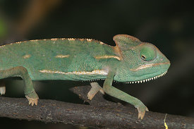 Chamaeleo species