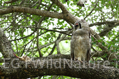 Verreaux's eagle-owl/Gråhubro - South Africa