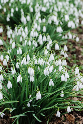 Clumps of tall Galanthus 'Atkinsii'. Painswick Rococo Garden, Painswick, Glos, UK