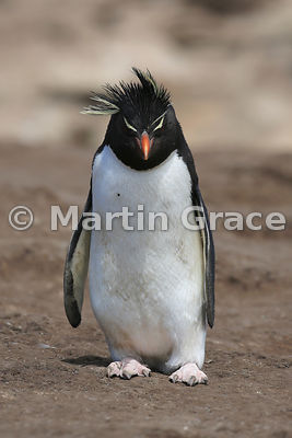 Southern Rockhopper Penguin (Eudyptes chrysocome chrysocome) from in front, Saunders Island, Falkland Islands