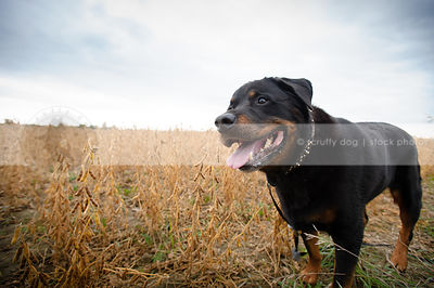 big black and tan rottweiler dog standing in field with sky