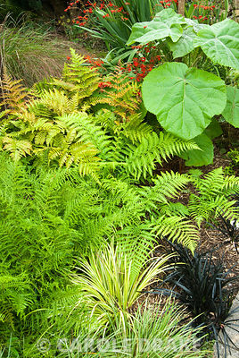 Mix of foliage including ferns, sedges, crocosmia and black Ophiopogon planiscapus 'Nigrescens'. The Croft, Yarnscombe, Devon, UK