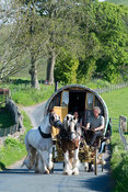 Horse drawn caravans heading along a narrow rural road near Kirkby Stephen, heading to Appleby Horse Fair 2015.