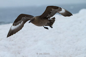 Frying skua around Petermann Island.
