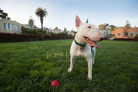 White bull terrier with toy