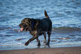 Happy Black Lab Walking Along Surf Line