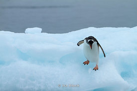 A gentoo penguin walking on glacier at Neko Harbor, the Antarctic Peninsula.