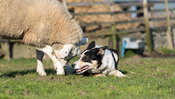 Border collie sheepdog getting attacked by a texel ewe protecting its lamb. North Yorkshire, UK.