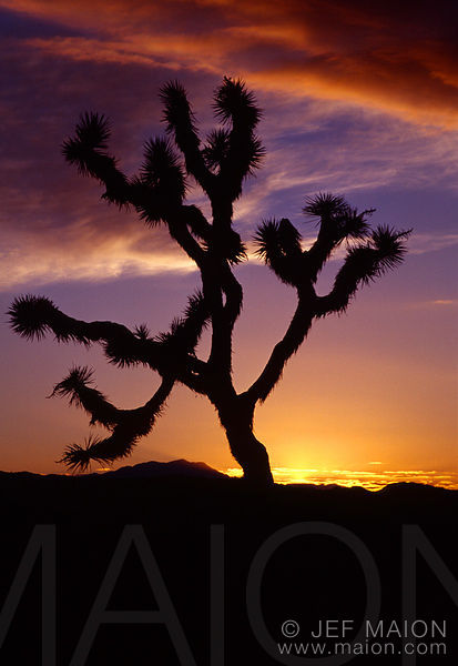 Joshua tree and red cloud against sunset