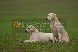 Labrador gun dogs on a game shoot in Leicestershire
