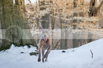 silly grey dog ears up running in snow in natural setting