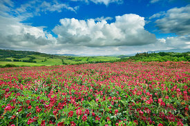Tuscany landscape with clover field - Europe, Italy, Tuscany, Siena, Val d'Orcia, San Quirico d'Orcia - Pienza - digital