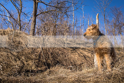airedale terrier standing in sunshine on hill of dried grass