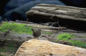 July - Pacific Wren