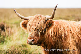 Highland_on_Exmoor