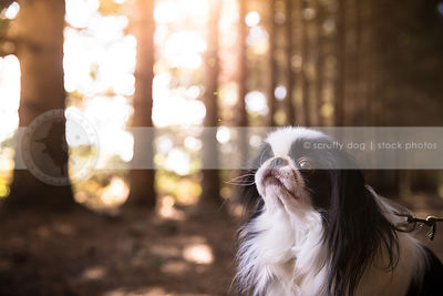 portrait of small longhaired dog in pine forest with sunflare