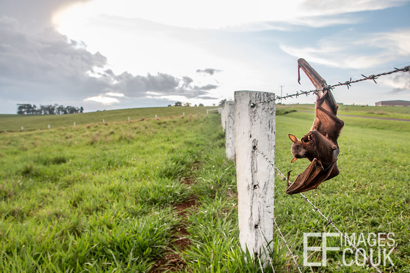 Dead Flying Fox Caught On Barbed Wire