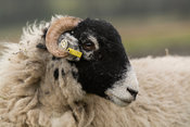 Swaledale yearling ewe with ear tags in. Yorkshire, UK.