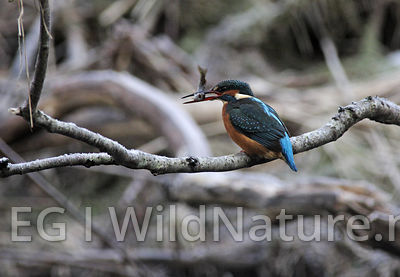 Common kingfisher/Isfugl - Norway