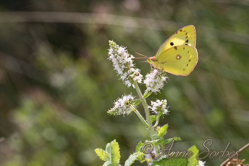 Clouded yellows (Colias) photos