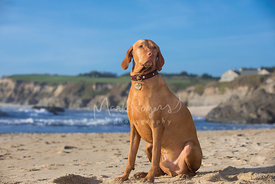 Noble Looking Red Vizsla Dog Sitting on Beach in three-quarter pose looking off in distance