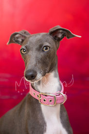 Italian Greyhound with Pink Collar Studio Close-up