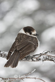Gray Jay (Perisoreus canadensis) perched on a branch during a snowstorm on Hurricane Ridge, Olympic National Park, Olympic Peninsula, Washington, USA, March, 2009_WA_8086