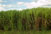 Field of Sugar Cane, Mumias, Kenya Africa