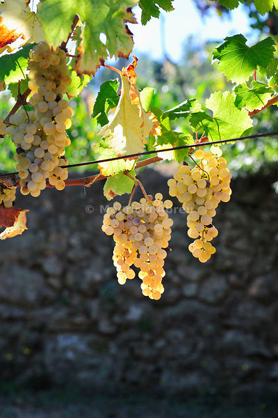 Grapes to produce green wine (Vinho Verde), a kind of lightly sparkling wine which are drunk whilst still very young. Cinfães do Douro, Douro region. Portugal