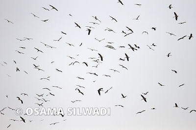 White Stork Migration Route Over Palestine