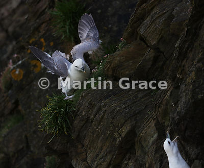 Northern Fulmar (Fulmarus glacialis) on the cliff of Sumburgh Head, Mainland South, Shetland, Scotland