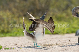 blue_footed_booby_north_seymour-42