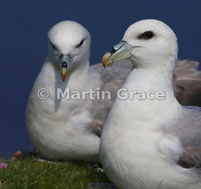 Northern Fulmar (Fulmarus glacialis), Sumburgh Head, Mainland South, Shetland, Scotland