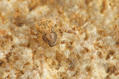 Ozyptila species - Bodemkrabspin onbekend photos