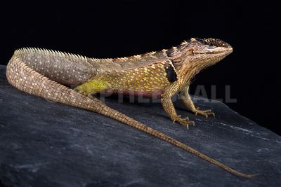 Ivy Whorltail Iguana (Stenocercus ivitus) photos