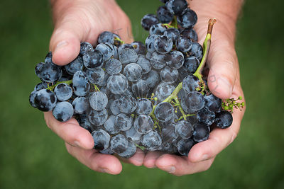 Merlot grapes in hand