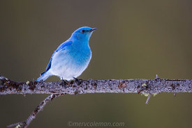 822 Bluebird on a Limb